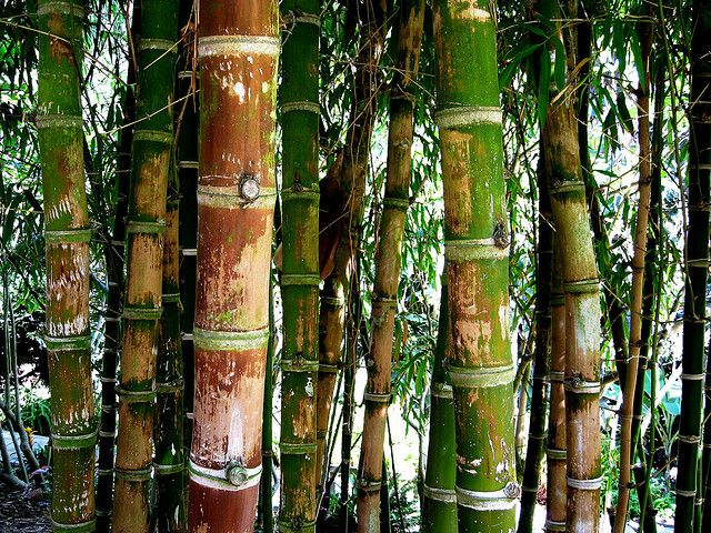 Bamboo: Crop of the Future